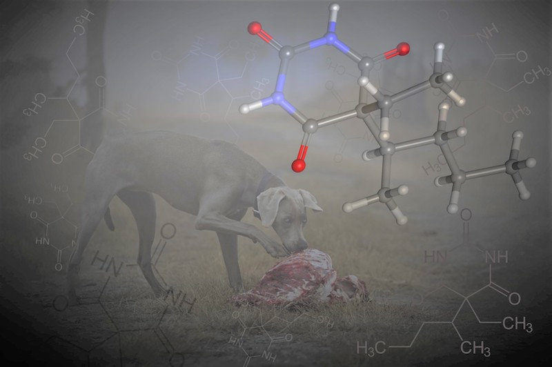 Dog feeding on wildlife carcass, with pentobarbital molecular structure in foreground.