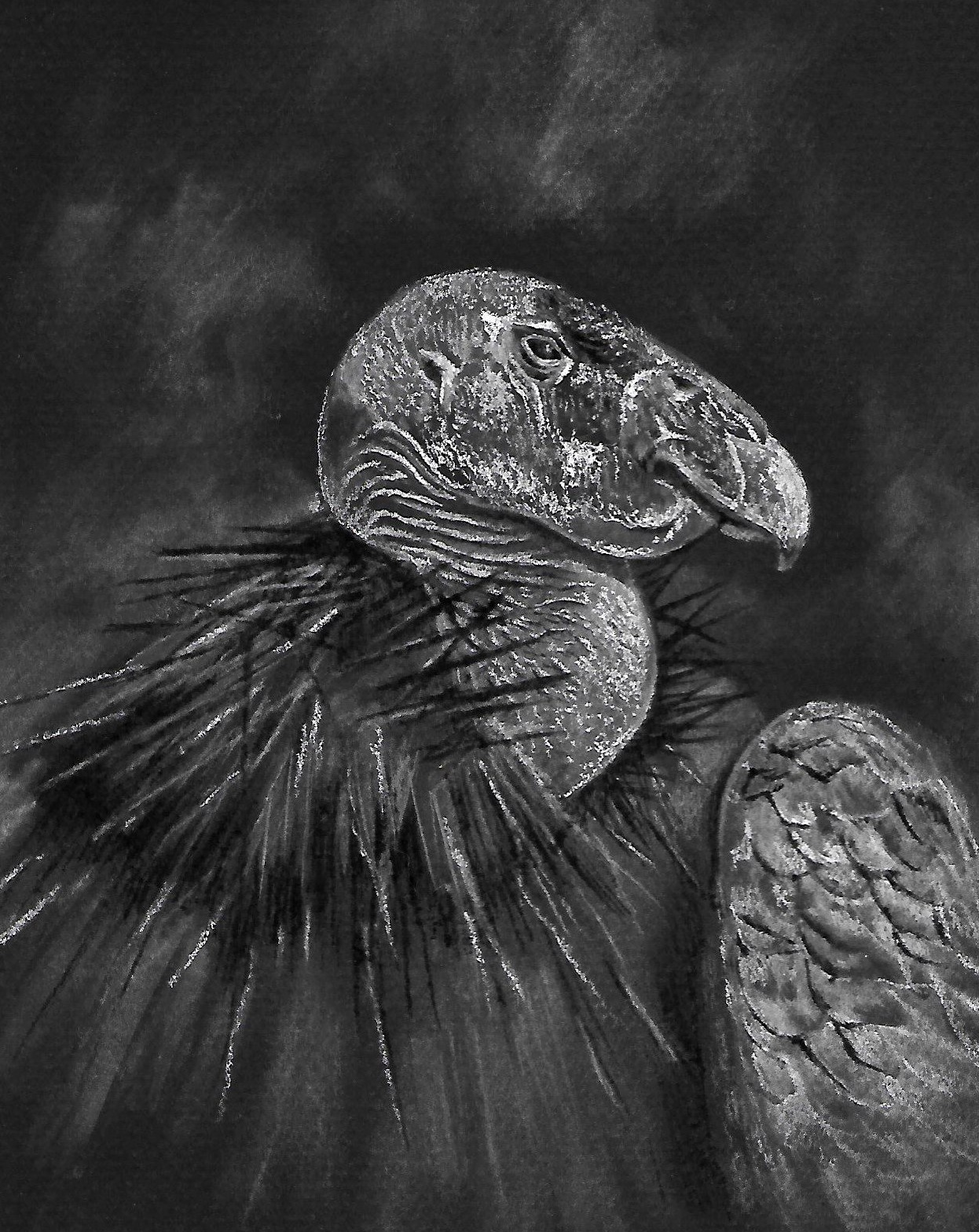 Black and white charcoal illustration of California condor (Artist: Susan Underkoffler)