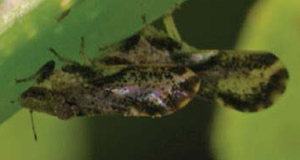 A close-up of an adult Asian citrus psyllid feeding on a leaf