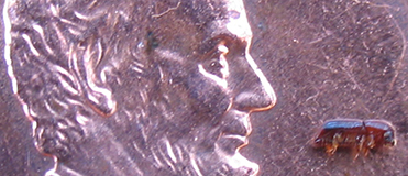 Close-up photo of a very tiny beetle on a bright new penny; beetle is longer than Abraham Lincoln's nose on the penny, but not by much.