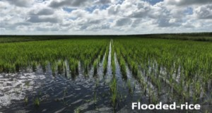 Flooded rice land management practice in the EAA during summer. Credit: Jehangir H. Bhadha, UF/IFAS