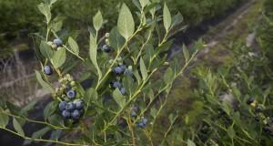 FL06-556 blueberry variety. UF/IFAS photo by Tyler Jones.