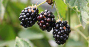 a close up photo of blackberry fruit on a blackberry bramble