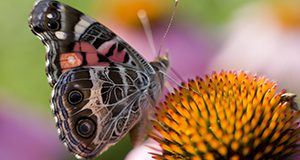 Close-up photo of a butterfly visiting a coneflower. UF/IFAS Photo by Tyler Jones.