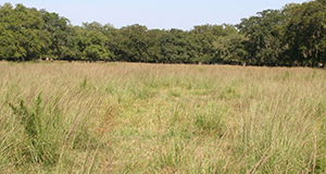 Smutgrass infestation in bahiagrass pasture.