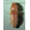 Adult Conoderus scissus Schaeffer, a wireworm.