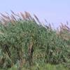 Giant reed with flower heads.