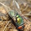 Dorsal view of the common green bottle fly, Lucilia sericata (Meigen).
