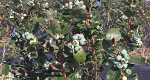 Kestrel blueberries. Credit: Douglas A. Phillips, UF/IFAS