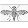 Drawing of an adult female West Indian fruit fly.