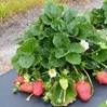 Plants and fruit of Winterstar™ ('FL 05-107') strawberry.