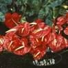 Anthurium 'Kozohara' used in cut-flower production.