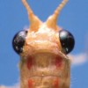 Dorsal view of head and pronotum, Plesiochrysa brasiliensis.