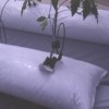 Young tomato plant growing in a perlite-filled bag.