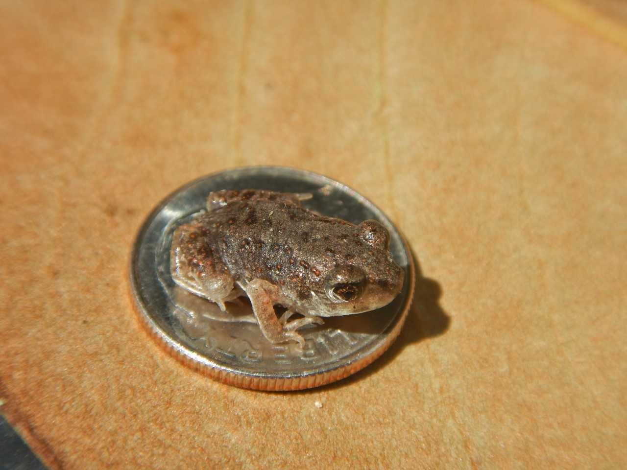 A close-up photo of one of the above-described raisin-sized froglets seated on a dime. It fits easily within the area of the dime, leaving a substantial margin uncovered: a very small frog.