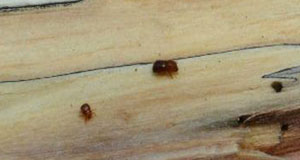 Photo of a male (left) and female (right) ambrosia beetles on a piece of decayed wood.