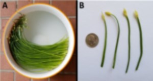 Chinese leek (A) and a quarter for scale (B). Credit: Guodong Liu, UF/IFAS