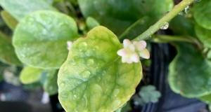 Malabar spinach flower. Credits: Chunfang Li, FDACS-DPI