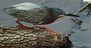 Photo of a green-backed heron in mid-stride on a log in water.