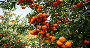 Clusters of tangerines on a citrus tree.