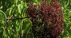 Photo of elderberries still on the tree and surrounded by elder leaves