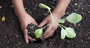 Photo of a child's hands planting a vegetable in soil.