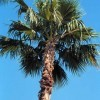A typical Washingtonia robusta.