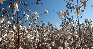 Cotton on a farm in Washington County.