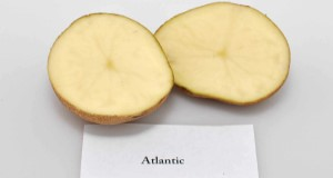 Typical internal flesh color of 'Atlantic'. Credit: Lincoln Zotarelli, UF/IFAS