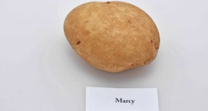 Typical tuber and internal flesh color of 'Marcy' potato variety. Credit: Lincoln Zotarelli, UF/IFAS