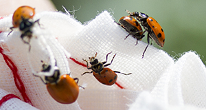 Photo of five ladybugs on a white woven cloth bag
