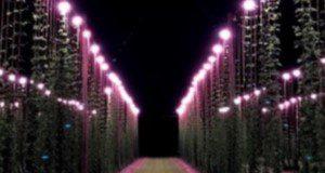 Hop plants illuminated by LED lamps at night. Credit: Shinsuke Agehara, UF/IFAS
