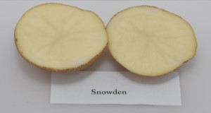 Typical internal flesh color of 'Snowden' potato variety.