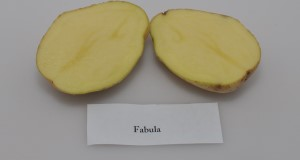 Internal flesh color of 'Fabula' potato variety. Credit: Lincoln Zotarelli, UF/IFAS