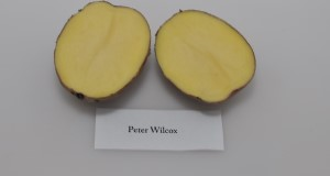 Typical tuber and internal flesh color of 'Peter Wilcox' potato variety. Credit: Lincoln Zotarelli, UF/IFAS