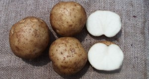 Typical tuber and internal flesh color of 'Harley Blackwell' potato variety. Credits: Kathleen Haynes, UF/IFAS