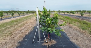 Young trees with plastic cover. Credit: Eduart Murcia, UF/IFAS Indian River Research and Education Center