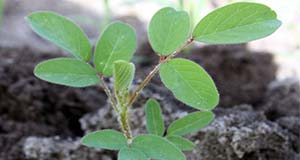 Fine hairs cover the leaves of the hairy indigo.
