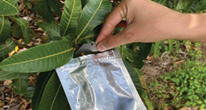 Covering a leaf sample with a reflective bag and cutting a leaf sample for measurement.